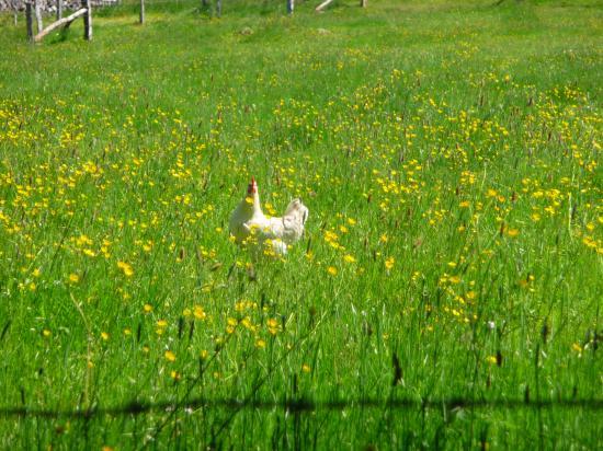 une poule au milieu des boutons d'or